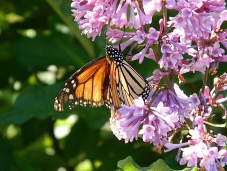 Monarch Butterfly on Common Lilac